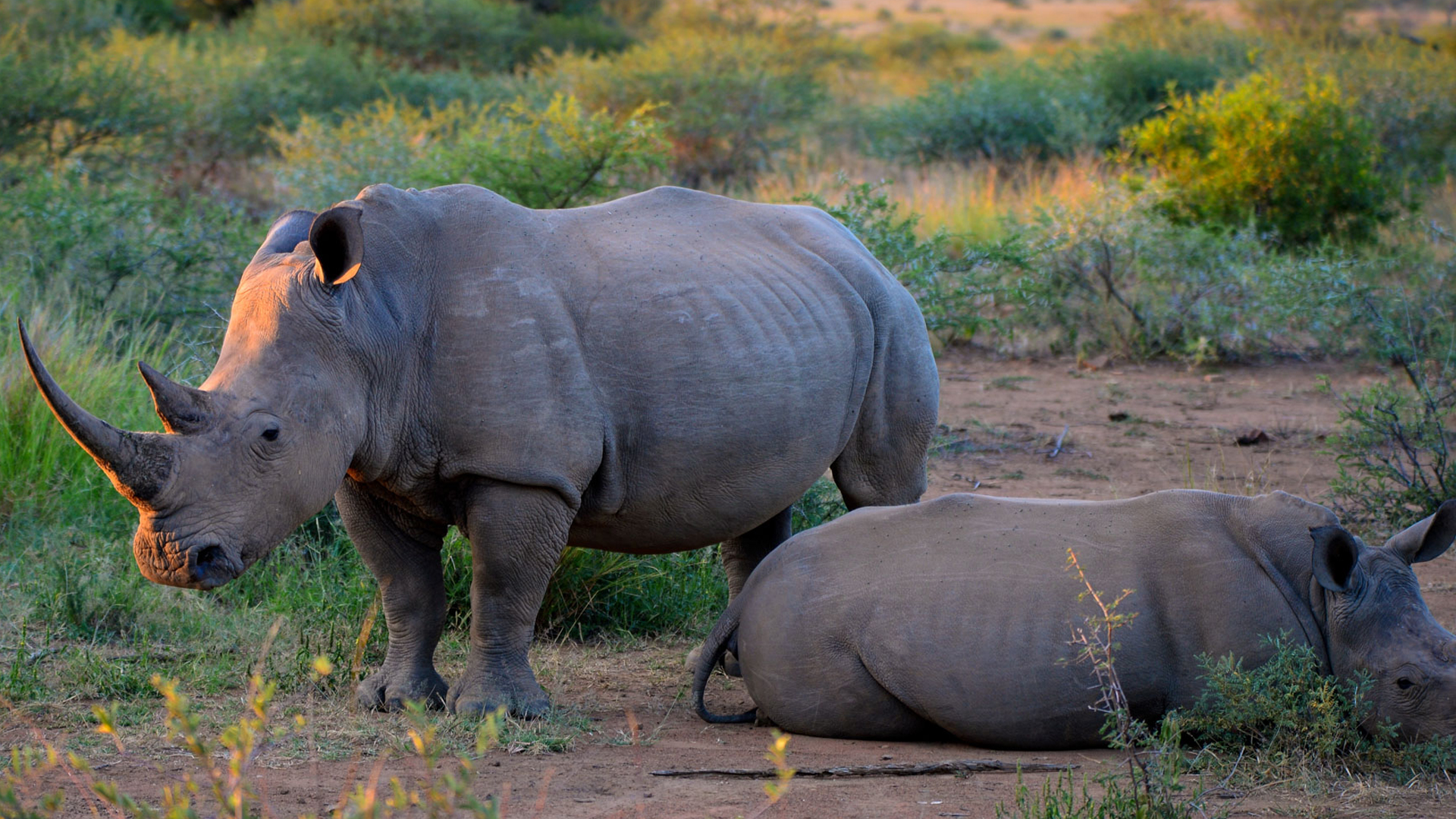 A rare opportunity to see the black rhino
